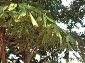 植物隨手拍 CJ:叢立孔雀椰子cj6755.JPG