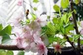 認識植物2.0 (69) 昭枯枳枸柃:昭和櫻xx05.jpg