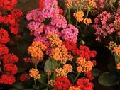 植物隨手拍 P:三色長壽花 p4982.JPG