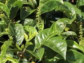 認識植物2.0 (69) 昭枯枳枸柃:枯里珍 o0871.JPG