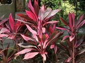 認識植物2.0 (28) 朱朴江池灰:朱蕉be6103.JPG