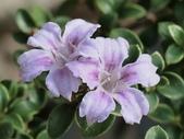 植物隨手拍 L:丁香木 L0585.JPG