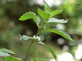 植物隨手拍 AS:胡椒薄荷as1817.JPG