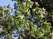認識植物2.0 (21) 白:白丁香ee9925.JPG