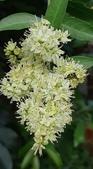 認識植物2.0 (68) 指星映春:指甲花xx03.jpg