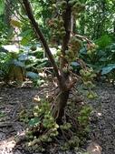 認識植物(64) 象費貼超酢量鈕開陽雁雲韌須:象耳榕xx01.jpg