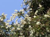 認識植物2.0 (21) 白:白千層an3656.JPG