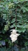 認識植物2.0 (68) 指星映春:指甲花xx04.jpg