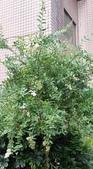 認識植物2.0 (68) 指星映春:指甲花xx06.jpg