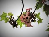 認識植物2.0 (68) 指星映春:星花酒瓶樹xx04.jpg