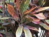 植物隨手拍EI:長葉變葉木ei6690.JPG