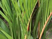 植物隨手拍EI:紅椰子ei7285.JPG