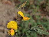 植物隨手拍 X:太陽麻 x0633.JPG