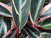 植物隨手拍 BP:彩虹竹芋bp2543.JPG