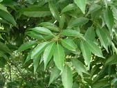 認識植物(67) 圓塊奧幹愛愷:圓果青剛櫟zz01.JPG