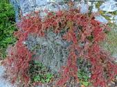 認識植物(69) 當痲矮碎碗稗稜節粳群義聖:矮生栒子xx03.jpg