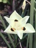 認識植物2.0 (63) 南:南非野鳶尾xx02.jpg