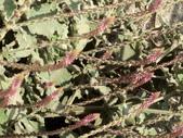 植物隨手拍 P:土牛膝 p4928.JPG