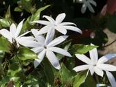 植物隨手拍 X:毛茉莉 x9071.JPG