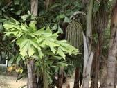植物隨手拍 CJ:叢立孔雀椰子cj3145.JPG