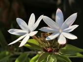 植物隨手拍 X:毛茉莉 x9495.JPG