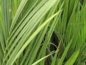 植物隨手拍EI:紅椰子ei7287.JPG