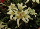 認識植物(50) 高鬼偃假:高山火絨草xx01.jpg