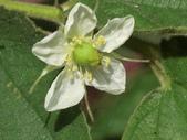 認識植物2.0 (63) 南:南美假櫻桃aj2950.JPG