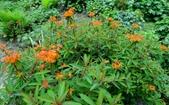 認識植物(67) 圓塊奧幹愛愷:圓苞大戟xx02.jpg