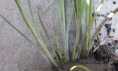 認識植物(69) 當痲矮碎碗稗稜節粳群義聖:矮扁鞘飄拂草xx02.jpg