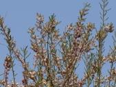 認識植物2.0 (63) 南:南洋櫻bz6601.JPG