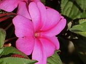 植物隨手拍CW:超級鳳仙cv8255.JPG