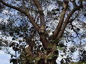 認識植物(63) 菜菝菟菠菩菫華菱菲菸菾萎著蛛蛟裂:菩提樹bu2838.JPG