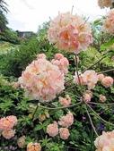 認識植物(67) 圓塊奧幹愛愷:圓球杜鵑xx01.jpg