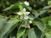 認識植物2.0 (63) 南:南美假櫻桃aj5309.JPG