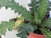 認識植物2.0 (63) 南:南國薊eb8766.JPG