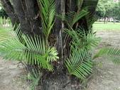 植物隨手拍 J:山棕 j5195.JPG