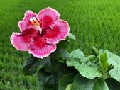 認識植物2.0 (28) 朱朴江池灰:朱槿xx02.jpg