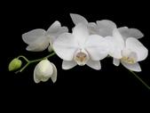 蝴蝶蘭照片欣賞 :W01-021b.JPG