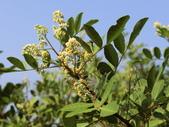 植物隨手拍 J:巴西胡椒木 j3700.JPG