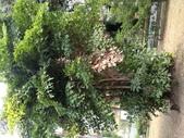 植物隨手拍 CJ:叢立孔雀椰子cj7138.JPG