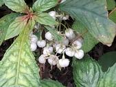 認識植物2.0 (25) 吊同向地多:同蕊草xx01.jpg