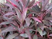認識植物2.0 (28) 朱朴江池灰:朱蕉be2880.JPG