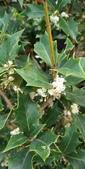 認識植物2.0 (70) 柊柏柚柳:柊樹xx01.jpg