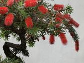 認識植物2.0 (33) 串亨伸佛克:串錢柳 y1959.JPG