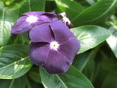 認識植物2.0 (59) 長:長春花 v0508.JPG
