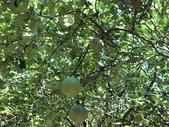 認識植物2.0 (70) 柊柏柚柳:柚子cq5624.JPG