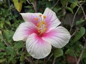 植物隨手拍 X:木槿 x0100.JPG