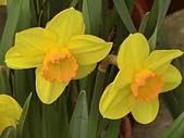 植物隨手拍 BP:西洋水仙bp5140.JPG