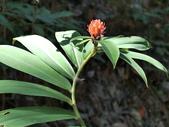 認識植物(56) 釣閉陰陸雀雪魚鳥鹵:閉鞘薑bb5002.JPG